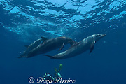 photographer and Atlantic spotted dolphins, Stenella frontalis, off Placencia, Belize, Central America ( Caribbean )