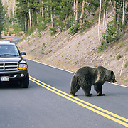 Grizzly Bear (Ursus horribillis) in Yellowstone National Park walking along a road while tourists watch. Wyoming