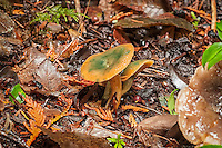 "This unknown subspecies of Lactarius deliciosus was found growing in the Olympic National Forest in Washington state about 100 meters from Lake Ozette on a cold mid-November afternoon. During a short hike through the woods I encountered at least two dozen of them. The prominent feature is the green ""stains"" on the cap."