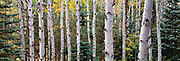 Quaking aspen and blue spruce trees thrive in the Kaibab National Forest in Arizona. ©Ric Ergenbright