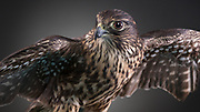 """Merlin Falcon (Falco columbarium). Cassie is a female """"Taiga"""" morph, who had a broken wing that has never healed properly."""