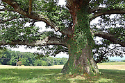 One of the biggest oak trees located near the airport in Charlottesville, VA.