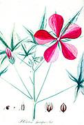 Hibiscus speciosus Ait from Hortus Herrenhusanus seu Plantae rariores [Rare Plants] quae in Horto Regio Herrenhusano prope Hannoveram coluntur / Auctore Ioanne Christophoro Wendland. by Wendland, Johann Christoph. Printed in Hanover, Germany in 1798