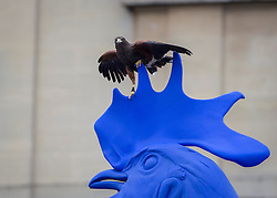 © Licensed to London News Pictures. 11/11/2013.  A pest control Harris hawk decides to use the blue chicken statue in Trafalgar Square as a perch.    Photo credit: Alison Baskerville/LNP