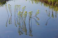 Marsh spurge (Euphorbia palustris). Northern part of Livansko Polje -  karst plateau: arguably the largest karst field in the world. Ramsar site. May 2009. Bosnia-Herzegovina.<br /> Elio della Ferrera / Wild Wonders of Europe