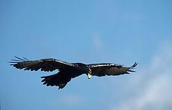July 7, 2015 - Verreaux''s Eagle, Giants castle national park, South Africa / (Aquila verreauxii) / Kaffernadler, Giant''s Castle Nationalpark, Suedafrika / freistellbar (Credit Image: © Wisniewski, W/DPA/ZUMA Wire)