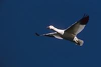 Snow goose (Chen caerulescens) in flight.  Tule Lake National Wildlife Refuge, California.  Nov 2002.
