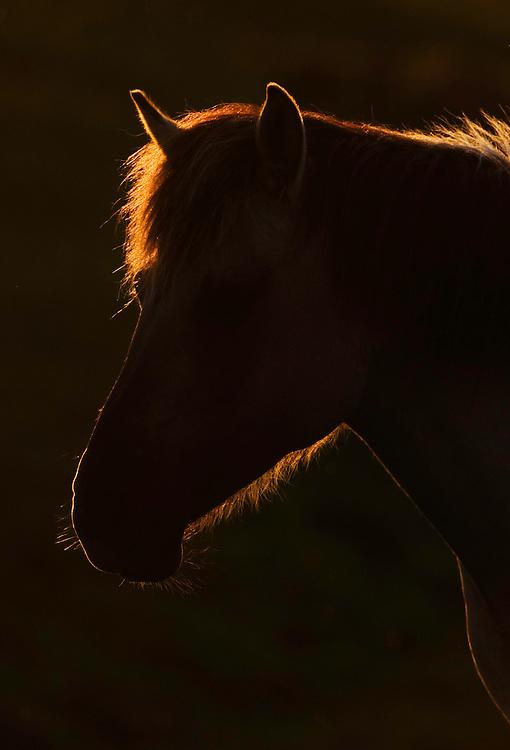 Konik horse portrait at sunset. Oostvaardersplassen, Netherlands. Mission: Oostervaardersplassen, Netherlands, June 2009.