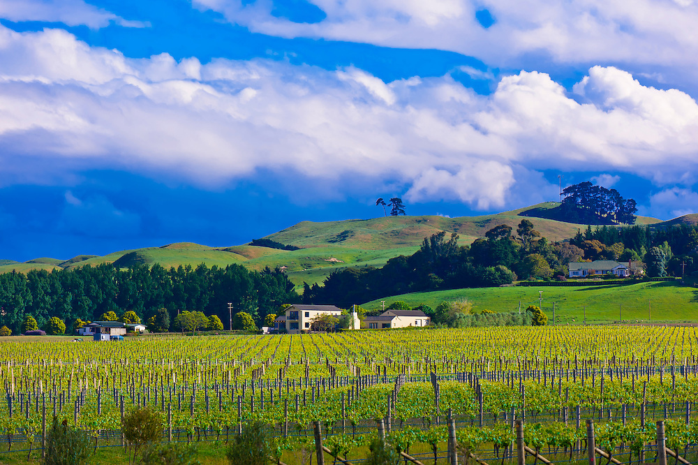 Vineyards near the Elephant Hill Estate and Winery, Te Awanga coast, near Napier, Hawkes Bay, north island, New Zealand