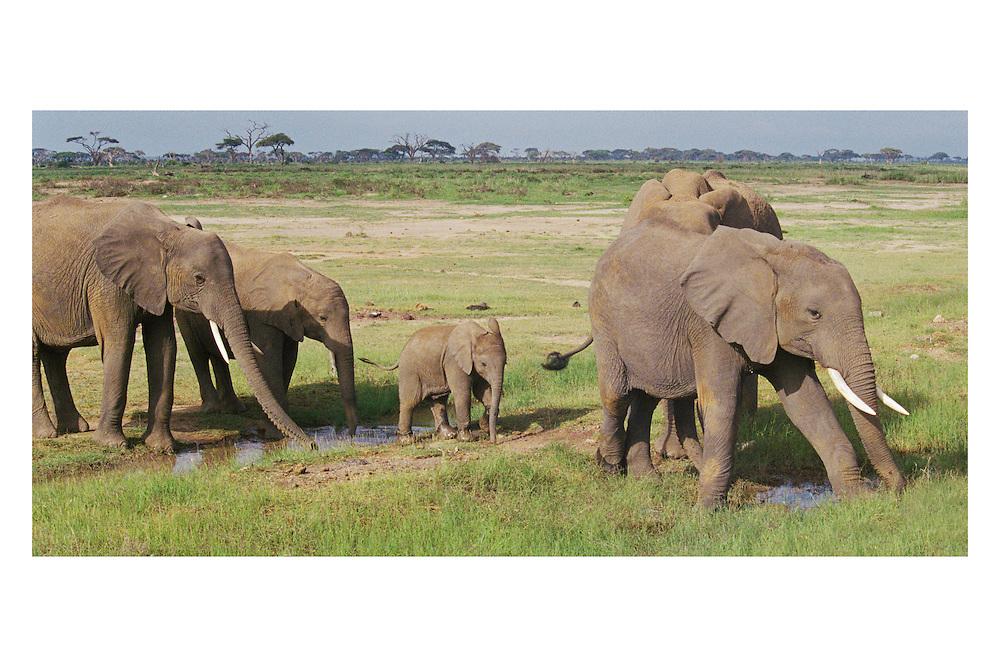 91414_Elephant_21.tif