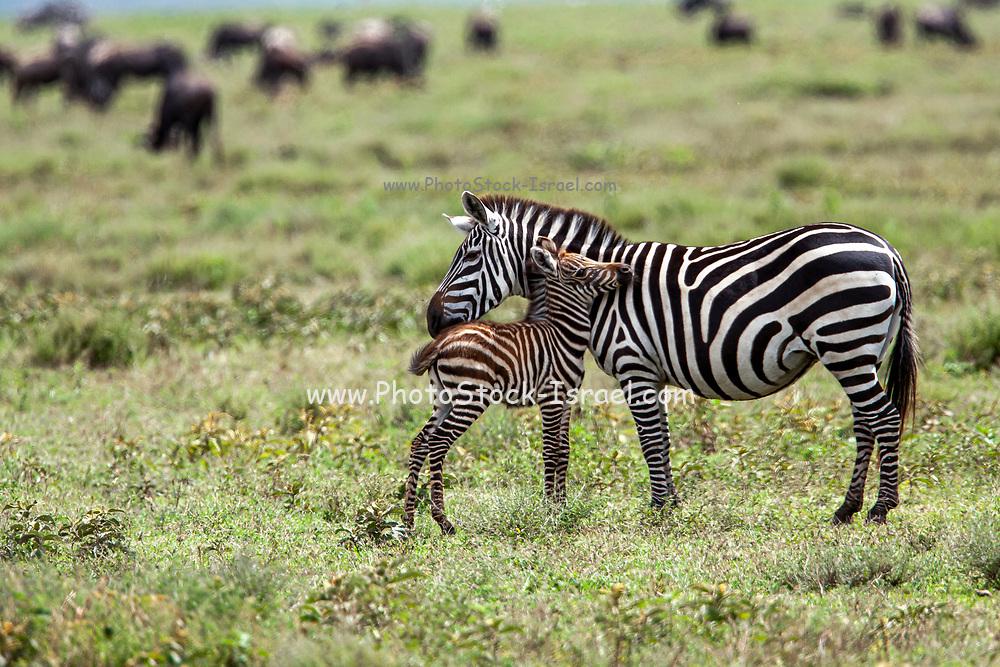 Plains zebra (Equus) Female nursing juvenile, Serengeti National Park, Tanzania, Africa
