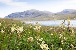 Meadowsweet, South Harris, Outer Hebrides. Filipendula ulmaria