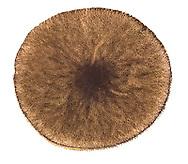 velvet shield<br /> Pluteus umbrosus