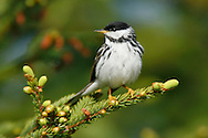 Blackpoll Warbler - Setophaga striata - Adult male breeding