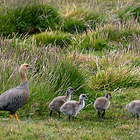 A female upland goose walks with her goslings thorugh the grass on New Island, Falkland Islands.