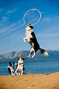 A border collie leaps for a hoop on the beach at Lake Tahoe while attending Camp Winnaribbun, a dog camp on September 8, 2011.