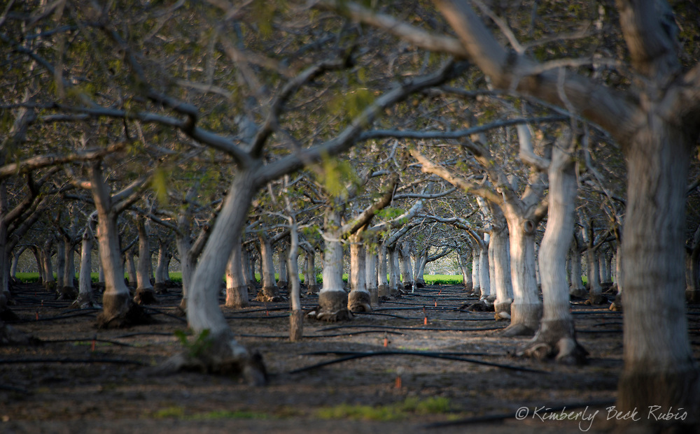 Tunnel created by trees in an orchard in Dixon, Solano County, California.