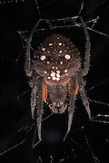 Spider<br /> Primary Rain Forest<br /> Iwokrama Reserve<br /> GUYANA. South America