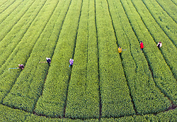 May 5, 2017 - Taizhou, China - Farmers work in a farmland in Taizhou, east China's Jiangsu Province, the day marking ''lixia'', the beginning of summer, the 7th term of China's ''24 Solar Terms''.  (Credit Image: © Tang Dehong/Xinhua via ZUMA Wire)