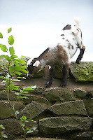 A young goat or kid stood on top of a drystone wall