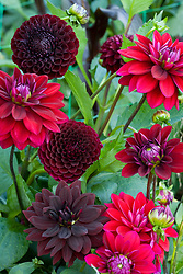 Dark dahlia collection. Dahlia 'Con Amore', Jowey Mirella' and 'Sam Hopkins'