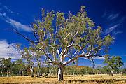 Eucalyptus tree, Queensland, Australia