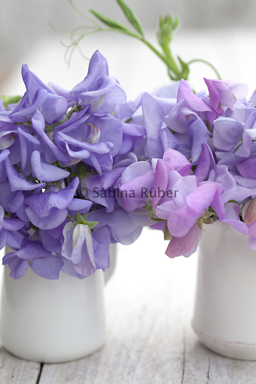 Lathyrus odoratus 'Flora Norton' and 'Lady Grisel Hamilton' - sweet pea