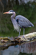 A Great Blue Heron (Ardea herodias fannini) fishing in a small pond at Devonian Harbour Park, near Coal Harbour and Stanley Park in Vancouver, British Columbia, Canada.