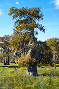 Bald cypress tree deciduous conifer, Taxodium distichum, covered with Spanish Moss in Atchafalaya Swamp, Louisiana USA