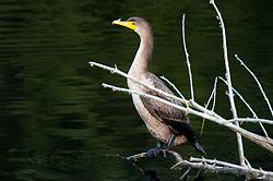 Immature Double-Crested Cormorant (Phalacrocorax auritus) at Black Lake, Ilwaco, Washington, US