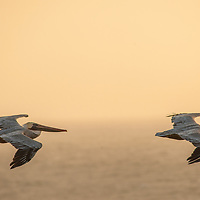 Brown Pelicans (Pelecanus occidentalis) fly in formation over the Pacific Ocean coast near Moss Beach, California.