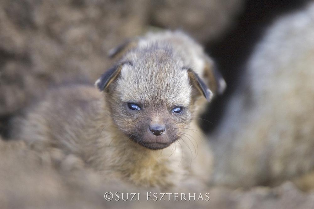 Bat-eared fox<br /> Otocyon megalotis<br /> 12 day old pup(s)<br /> Masai Mara Reserve, Kenya