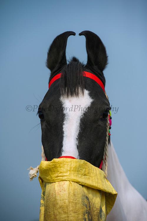 Marwari horse breed<br /> From Jodhpur region<br /> Uttar Pradesh, India<br /> En-route to Pushkar camel and horse festival