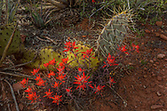 Paintbrush, prickly pear cactus, wildflower, Sedona, Arizona