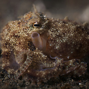 Small octopus at night in Lembeh Strait, with its siphon clearly visible. When an octopus wants to move rapidly, it can take water in through its mantle and then close it off to seal in the water. The octopus can then expel the trapped water through its siphon to propel itself at high speed.