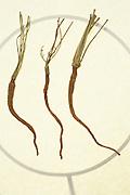 Still life of three shriveled carrots