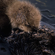 Sea Otter (Enhydra lutris) baby nursing from it's mother.  Adak Island, Aleutians, Alaska.