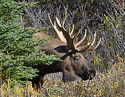 Alaska. Bull moose (Alces alces) during fall at Kincaid Park, Anchorage.