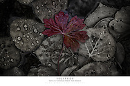 20x30 poster print of a red autumn leaf in water.