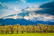 Apple orchard in Hood River, Oregon