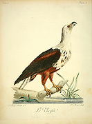 Le Vocifer or The African fish eagle (Haliaeetus vocifer) or the African sea eagle, is a large species of eagle found throughout sub-Saharan Africa wherever large bodies of open water with an abundant food supply occur. It is the national bird of Namibia and Zambia. Bird of Prey from the Book Histoire naturelle des oiseaux d'Afrique [Natural History of birds of Africa] by Le Vaillant, François, 1753-1824; Publish in Paris by Chez J.J. Fuchs, libraire .1799