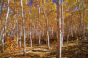 White birch trees in autumn colors<br /> Skead<br /> Ontario<br /> Canada