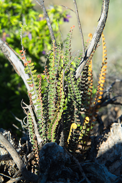 This attractive desert fern is found across much of the Chihuahuan and Sonoran Deserts of the United States and Mexico and is easy to recognize by the simple pinnae or leaflets with the coppery-colored stem and undersides of the leaves. Both the tops and bottoms of the leaves are covered in tiny scales. Reportedly toxic to sheep, this and many other ferns like it were found in abundance in the Big Bend National Park of West Texas.