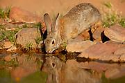 Desert Cottontail (Sylvilagus audubonii) Amado, Arizona<br /> animals, drinking water, reflection<br /> wildlife<br /> mammals<br /> rabbit