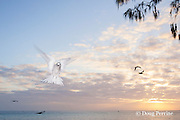 white tern or fairy tern, Gygis alba rothschildi, at sunset, Sand Island, Midway, Atoll, Midway Atoll National Wildlife Refuge, Papahanaumokuakea Marine National Monument, Northwest Hawaiian Islands,  ( Central North Pacific Ocean )
