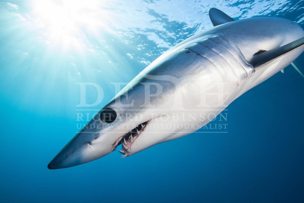 Isurus oxyrinchus (Mako Shark) off the West Coast of Auckland, New Zealand.<br /> Photograph Richard Robinson © 2015.