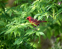 Northern Cardinal. Image taken with a Nikon D3s camera and  300 mm f/2.8 VR lens.