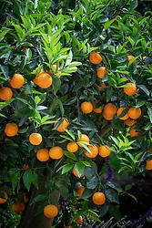 Orange tree laden with fruit.
