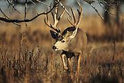 Trophy mule deer buck walking in brushy habitat