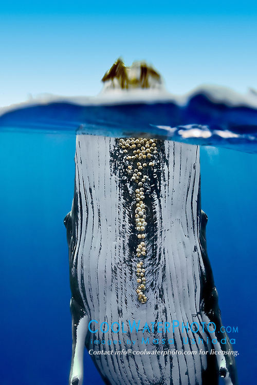 humpback whale, Megaptera novaeangliae, spyhopping, large adult female showing well-developed parasitic acorn barnacles attached under chin, Cornula diaderma, Hawaii, USA, Pacific Ocean
